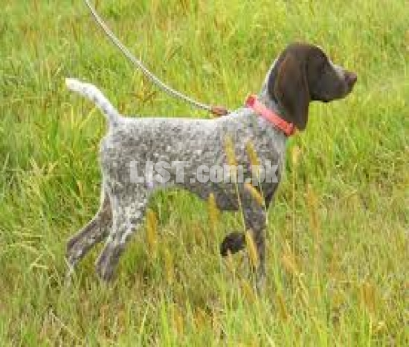 German pointer female
