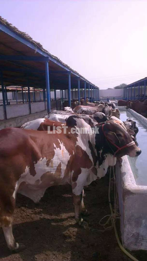 Sheds Available for Cattle and Dairy Farming Short and Long Term Basis