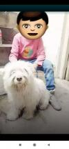 Beautiful long Hairs Healty Dog for sale Contact Serious  person