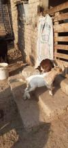 Tedi goats and kids