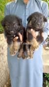 German shepherd long coated pear 1 month for sale