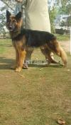 Belgian Shepherd 10 mahine ka for sale