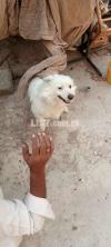 Russian dog is for sale price 25000
