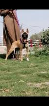 Jumping dog male age 3 month for sale available