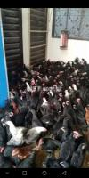 Australorp chicks 2 and  3 month old available