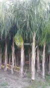 Plants of queen palm